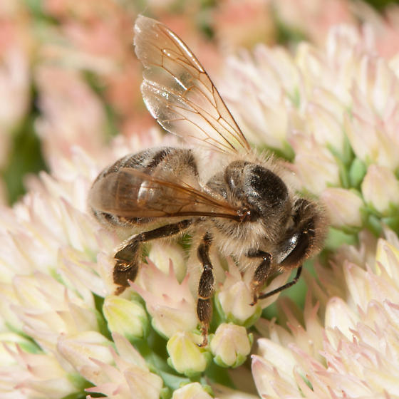 Bee - Apis mellifera