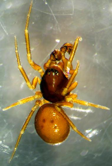 Ceraticelus laetabilis - male