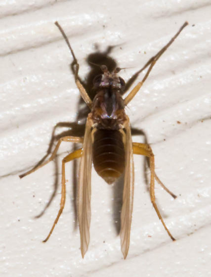Brown pointed-winged fly - Lonchoptera