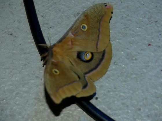 Antheraea polyphemus - female