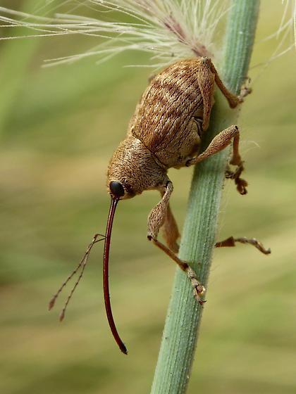 Nut and Acorn Weevils? - Curculio