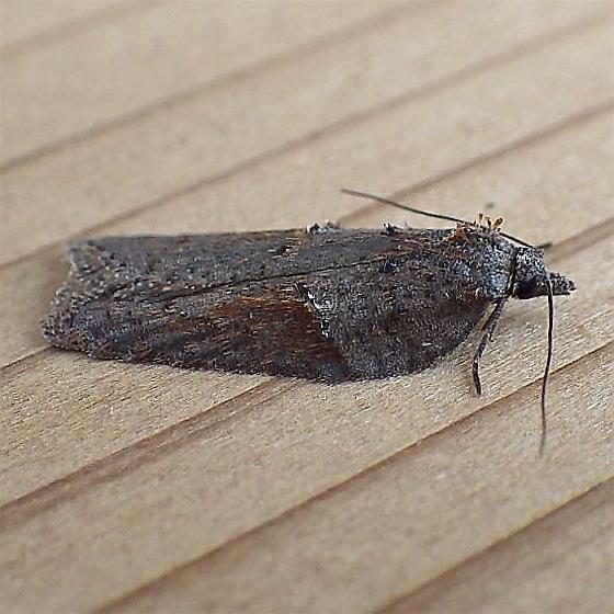 Tortricidae: Acleris bowmanana? - Acleris