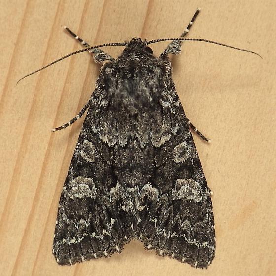 Noctuidae: Platypolia contadina - Platypolia