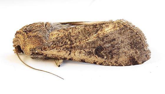 Variegated Cutworm moth - Peridroma saucia