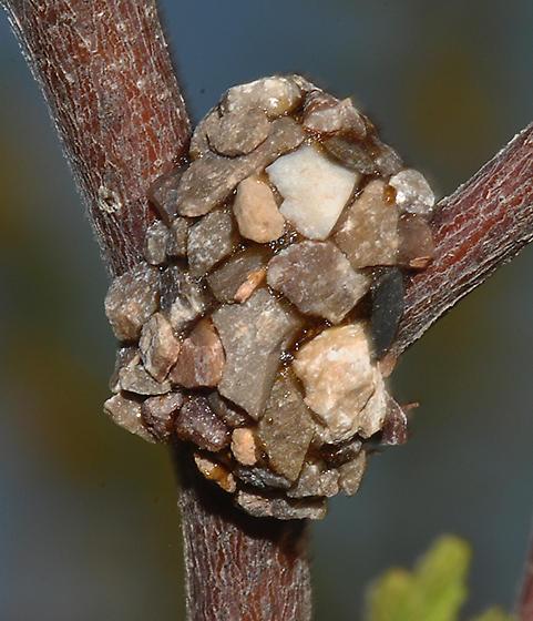 Anthidiellum nest - Anthidiellum