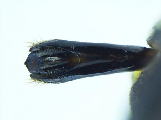 Agrilus aeneocephalus - male
