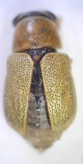 Beetle - Pachybrachis jacobyi