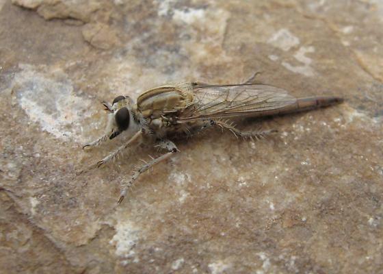 Robber fly - Proctacanthella exquisita