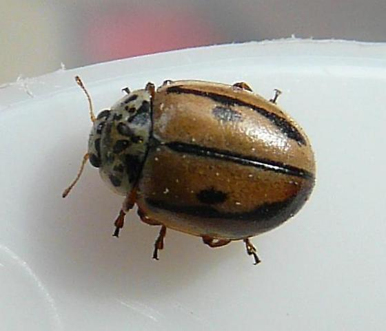 Hudsonian ladybird - Mulsantina hudsonica