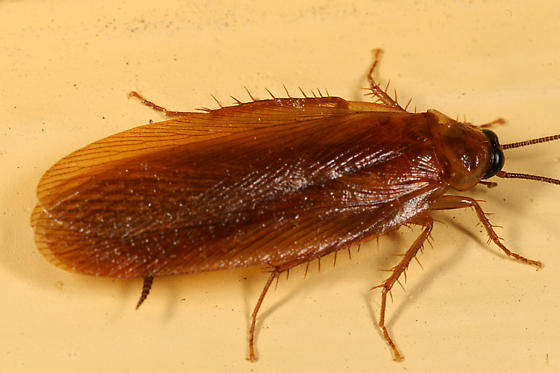 Cockroach - Parcoblatta virginica - male