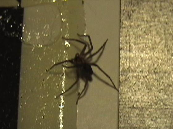 another basement spider - Loxosceles reclusa
