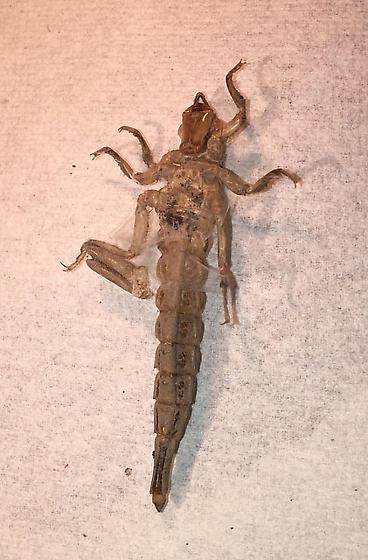 exuvia of Arrow Clubtail - Stylurus spiniceps - female