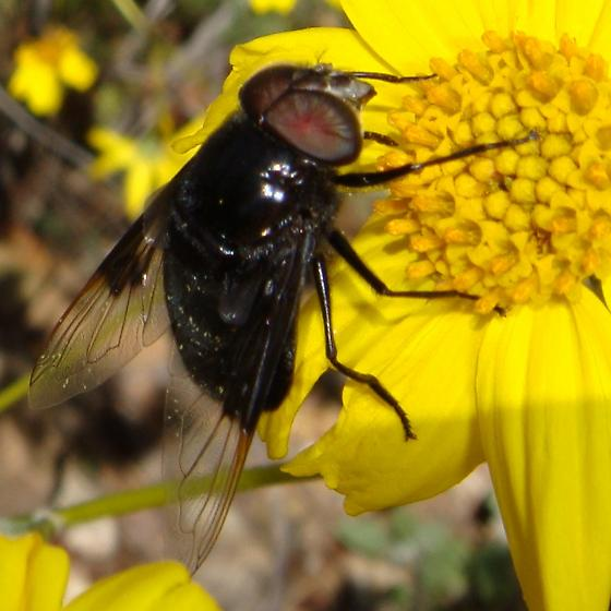 Big black syrphid - Copestylum mexicanum