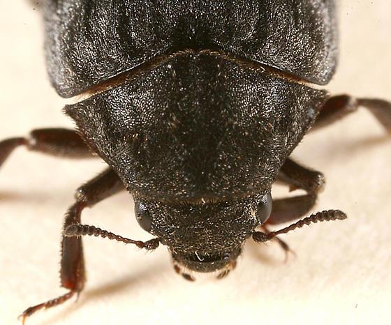 Pill Beetle - Byrrhus