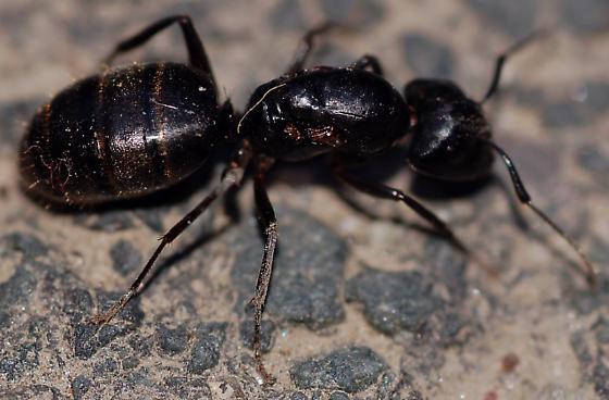Carpenter ant queen? - Camponotus pennsylvanicus ...