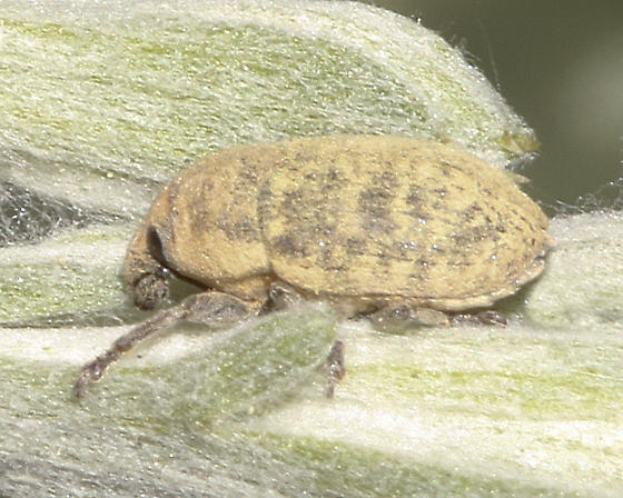 Weevil on sagebrush - second individual - Larinus obtusus