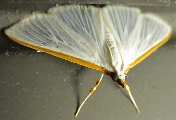 5219 - Kimball's Palpita Moth (Palpita kimballi) - Diaphania costata