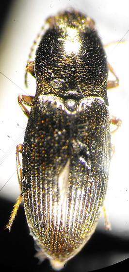 Hypolithus - Hypnoidus nocturnus