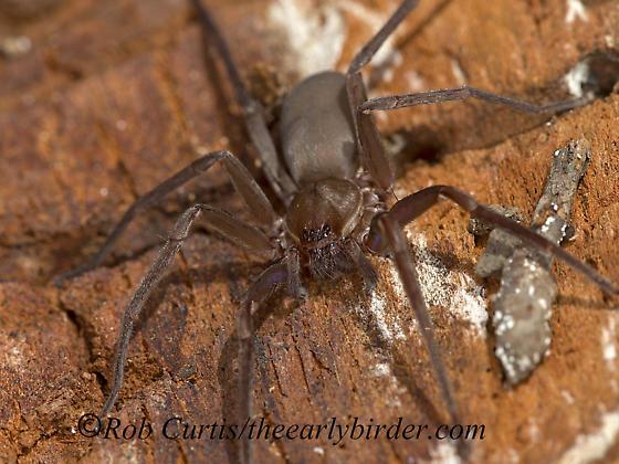 9058295 spider - Titiotus