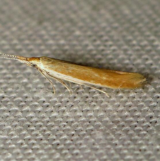 Plutellid ID Req. - Coleophora
