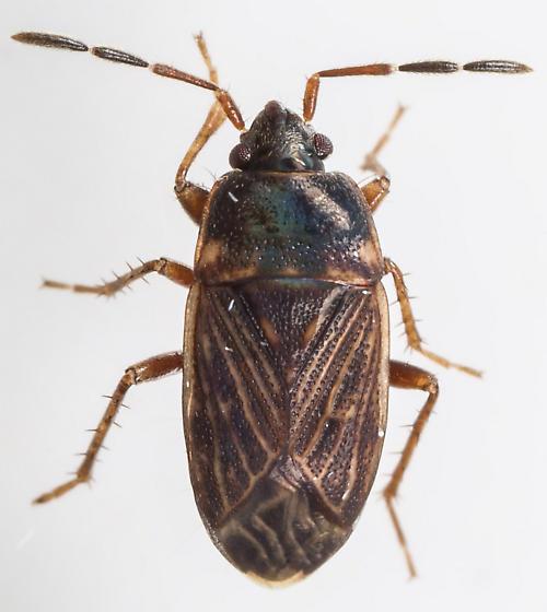 Bug - Cryphula trimaculata - female