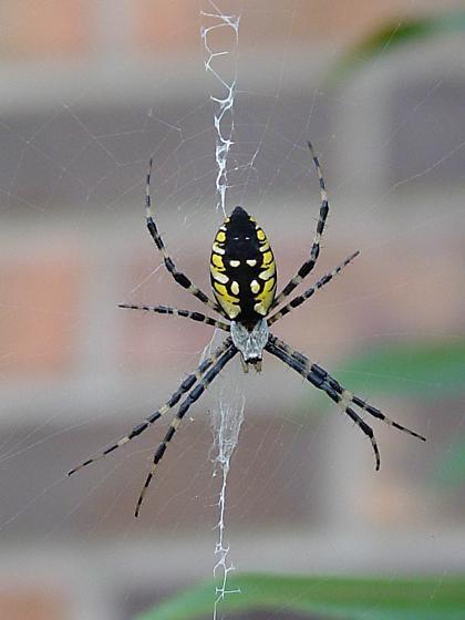 Black & Yellow Argiope - Argiope aurantia - Argiope aurantia - female
