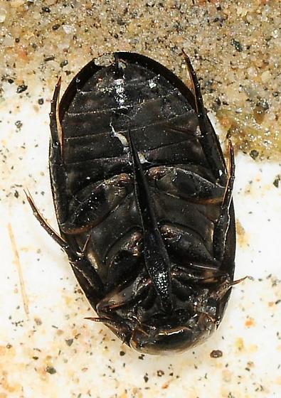 Hydrophilidae - Water Scavenger Beetles