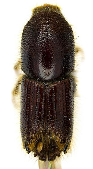 Ips calligraphus (Germar) - Ips calligraphus