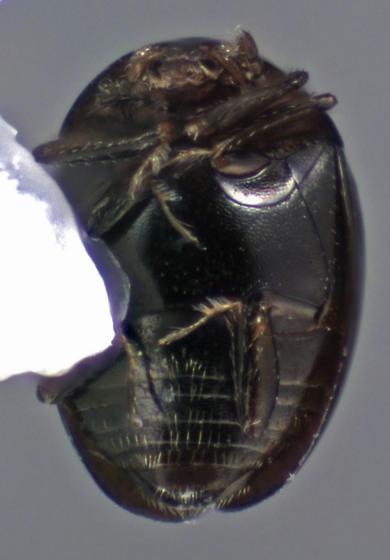 Beetle - Orthoperus