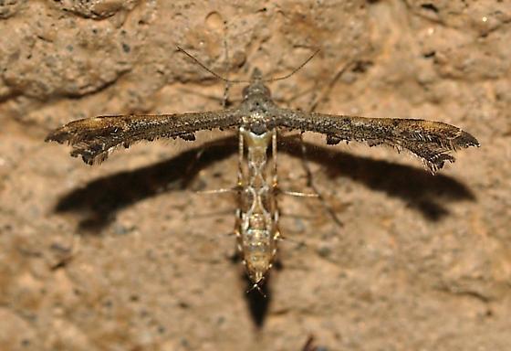 Moth - Michaelophorus indentatus