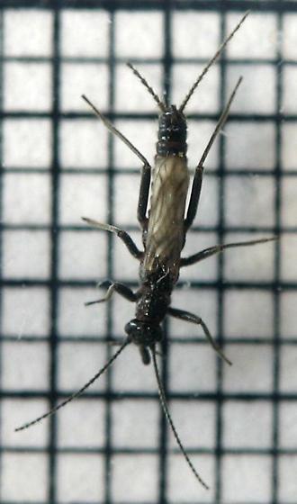 Small, short-winged winter stonefly