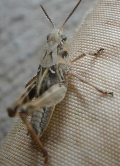 Grasshopper - Camnula pellucida - male
