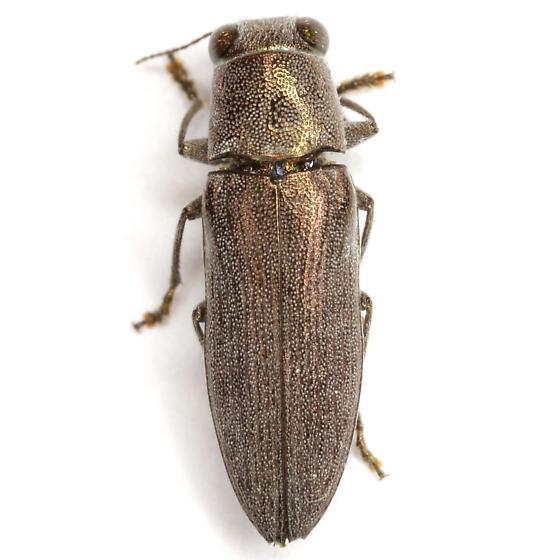 Spectralia cuprescens (Knull) - Spectralia cuprescens