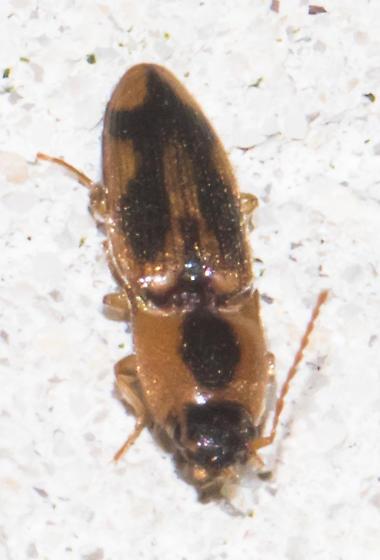 2018-08-15 Small click beetle - Aeolus