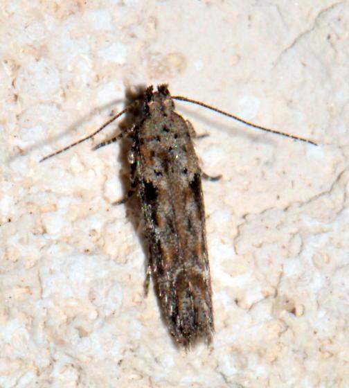 Please help us to identify this moth. - Symmetrischema