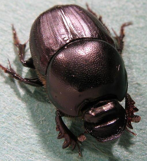 dung beetle - Onthophagus taurus
