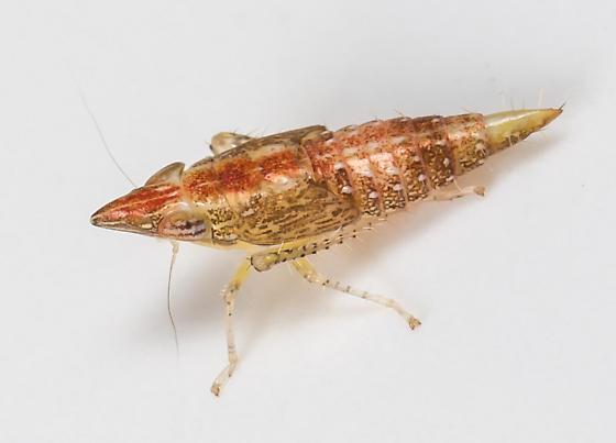 Nymph - Scaphytopius