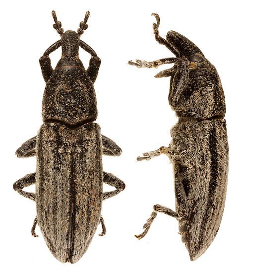Weevil - Scaphomorphus poricollis
