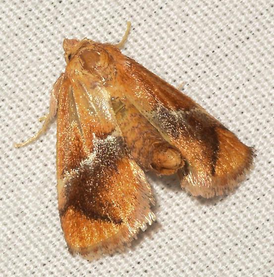 moth061717e - Lithacodes fasciola