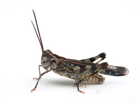 Psinidia fenestralis - male