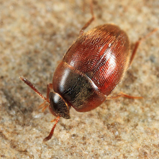 Catops? - Ptomaphagus - female