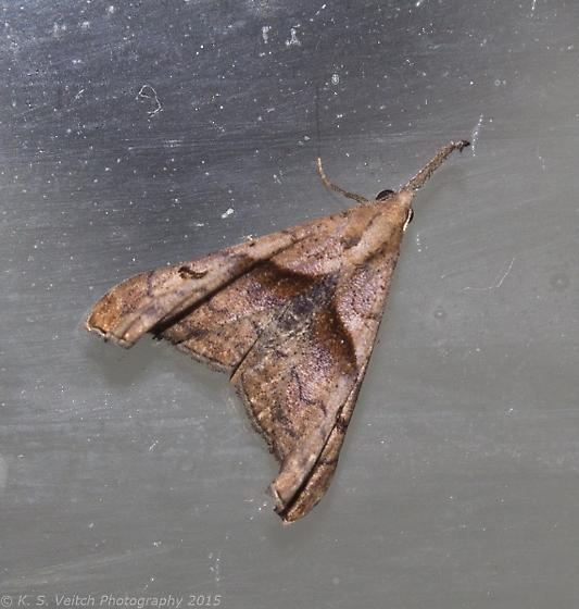 Dark-spotted Palthis  - Palthis angulalis - female