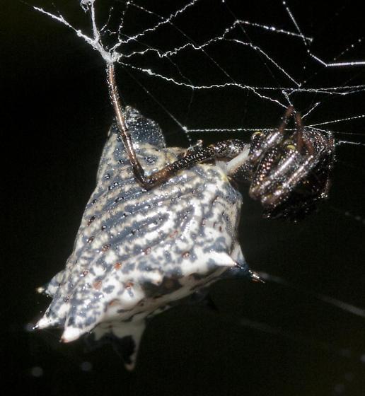 Micrathena gracilis - female