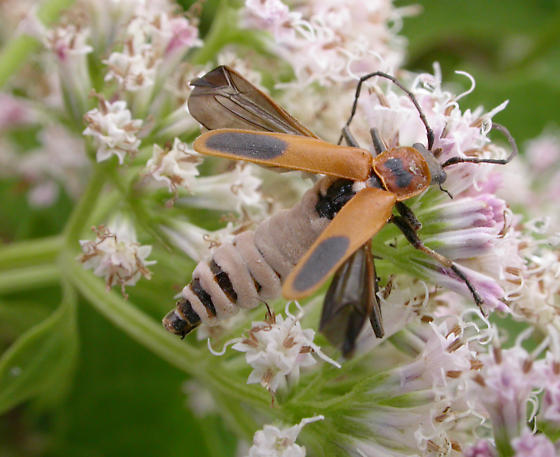 Goldenrod Soldier Beetle--killed by fungus - Chauliognathus pensylvanicus