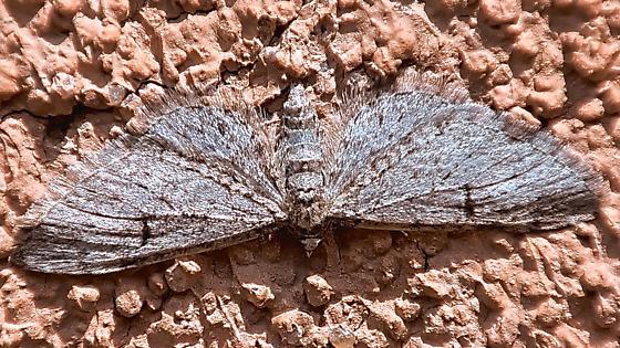 Moth ws 28mm - Eupithecia