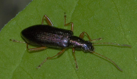 Metallic brown beetle - Arthromacra aenea