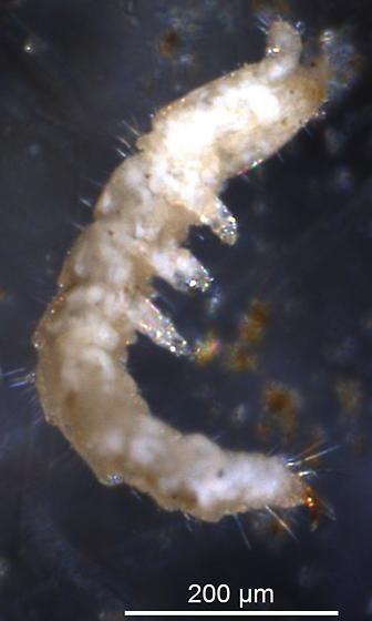 Unknown soil Arthropod