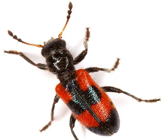 Aulicus antennatus? - Aulicus