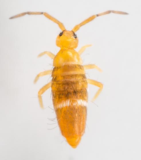 Springtail - Entomobrya clitellaria