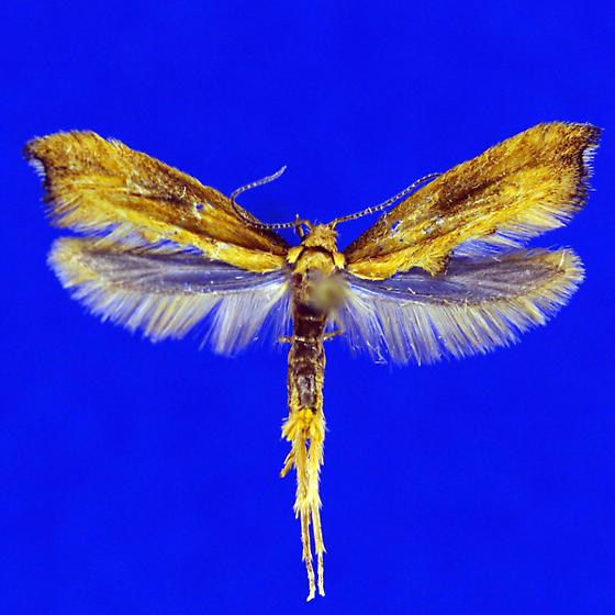 Epermenia imperialella